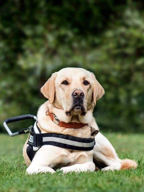 guide-dog-labrador-retriever-2-years-old-in-park-DLG2RME.jpg